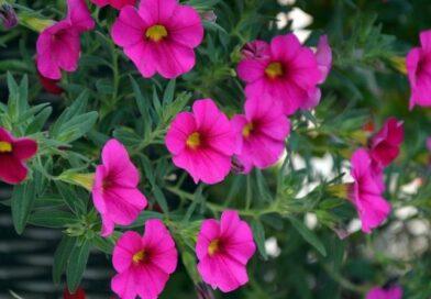 Значение цветов: что означает петуния?