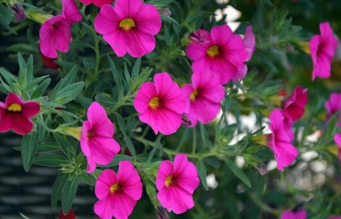 Что означает цветок петунии?  гнев  чувство обиды  комфорт